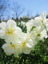 Photo: White, ruffly daffodils under a bright blue sky at Cox Arboretum in Dayton, Ohio.