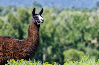 Photo: Llama in Tierra Amarilla