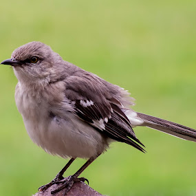 by Vicki Switala Riley - Animals Birds ( green, bird, mocking bird, summer, grey,  )