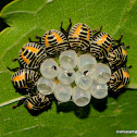 brown marmorated stink bug (BMSB)