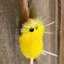 Arctiidae moth caterpillar