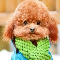 live poodle wallpaper icon