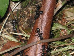 Photo: hormigas en la misión Jesús de Tavarangüé (Paraguay)