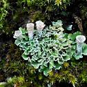 Pixie-Cup Lichen; Líquen de embudo