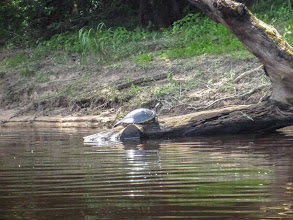 Photo: one of many turtles