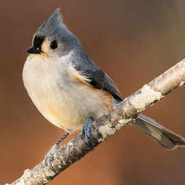 Tufted Titmouse 7005 by Carl Albro - Animals Birds ( chickadees and titmice, bird, songbird, tufted titmouse, branch )