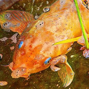 koi fish in pond 1.jpg