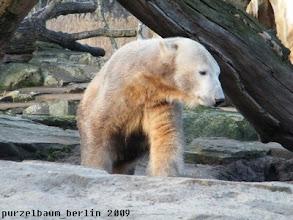Photo: In Ordnung, besichtigt Knut eben die Schlafkuhle ;-)