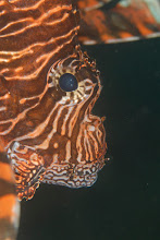 Photo: Common Lionfish - Pterois volitans