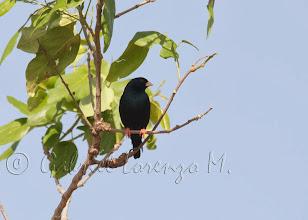 Photo: Viuda senegalesa (Vidua chalybeata)