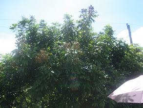 Photo: ニャン(竜顔)の木。ライチに似ててクセになる甘さ。