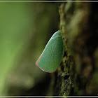 Geisha distinctissima 碧蛾蠟蟬