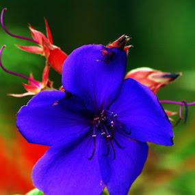 Blue by Enggus Fatriyadi - Nature Up Close Flowers - 2011-2013