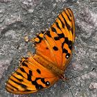 Gulf fritillary / Passion Butterfly,