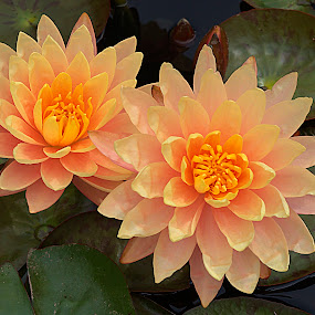 Pink tinted water lilies #1 by Frank Barnitz - Flowers Single Flower ( water lily, flowers )