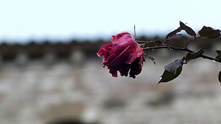 Rosa di biloscurio