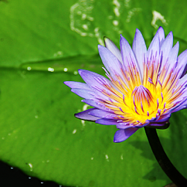 by Steven De Siow - Flowers Flowers in the Wild ( wildflower, purple flower, water lily, flower, wild flower,  )