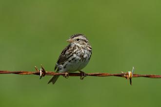 Photo: savannah sparrow
