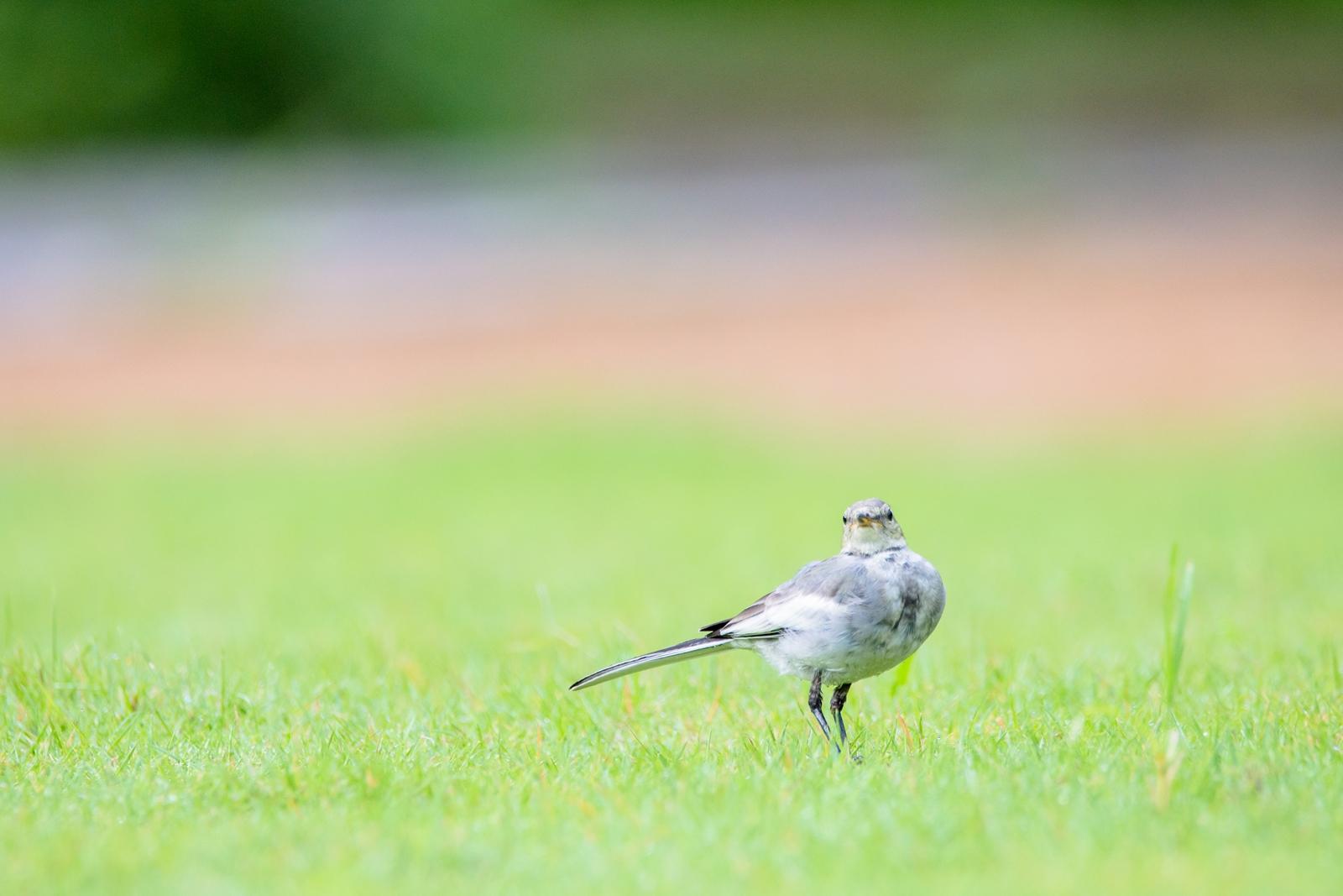 Photo: 何気なく Morning encounters.  休日の朝 朝の公園 朝のお散歩 朝の出会いに 何気なく視線を交わす  White Wagtail. (ハクセキレイ)  #birdphotography #birds #cooljapan #kawaii #nikon #sigma  Nikon D7200 SIGMA 150-600mm F5-6.3 DG OS HSM Contemporary  ★お知らせ★ ただいま少しずつ準備を進め 正式な告知も会期に近づいたら行われる予定ですが、 秋の終わりに 個展を開催させていただくことになりました。 場所は東京京橋にあるIsland Gallery、 会期も決まっていて 11月20日(金)から29日(日)の10日間です。 YouTubeライブも実施する予定です♪ また詳細が決まったら 徐々に告知させていただきたいと思います! 興味を持っていただけたら幸いです。 ★★★