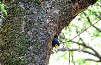 Photo: Himalayan magpie nest
