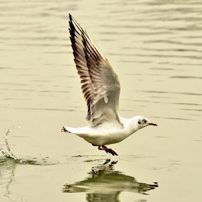 take-off by Dorian Radu - Animals Birds ( water, seagull, wings, pwctaggedbirds, bird in motion )