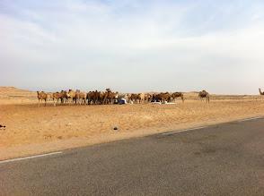 Photo: Nomads tending camels