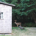 Blacktail Deer – Buck