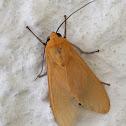 Arctiidae