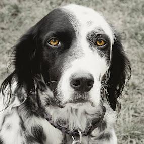 Brown Eyes by Elaine Tweedy - Animals - Dogs Portraits