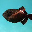 Indian triggerfish
