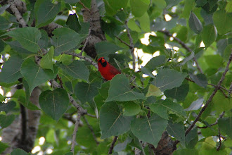 Photo: 34 ... A visit from a cardinal
