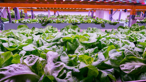 Aquaponics treatment system inspired by sewage plants grows tastier crops and keeps fish healthy