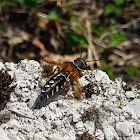 Imperial Rove Beetle