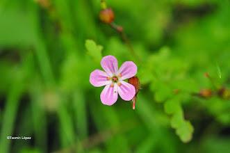 Photo: Geranium robertianum