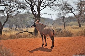 Photo: A Roan Antelope (Afrikaans: Bastergemsbok), Mokala National Park.