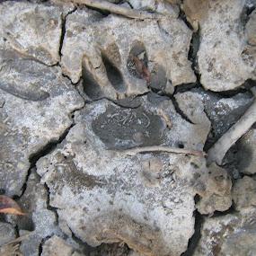 SHER KHAN FOOTPRINT by Md Zakir Hossain - Animals Lions, Tigers & Big Cats ( mud, tiger, footprint )