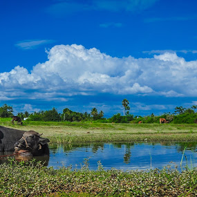 Leisure Time by Gowri Shankar - Animals Other ( clouds, water, buffalo, animals, nature, trees, landscape )