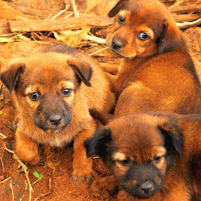 by Vino P - Animals - Dogs Puppies (  )