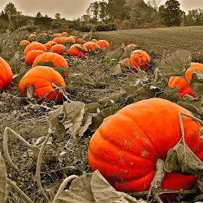 THE PUMPKIN PACH  by Udo Weber - Nature Up Close Gardens & Produce ( field, orange, pumpkin, mono, halloween )