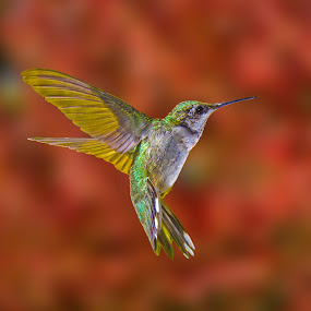 by Lyle Gallup - Animals Birds ( bird, flight, flying, red, colorful, colors, hummingbird, animal,  )