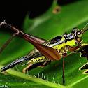 Asian Bush Cricket