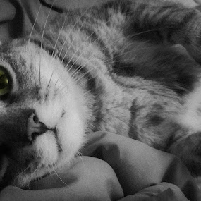 Whittle by Serenity Deliz - Animals - Cats Portraits ( cat, cute kitty, kitty )