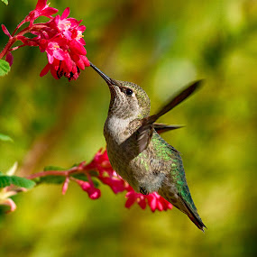 Anna's Hummingbird by Sheldon Bilsker - Animals Birds ( bird, nature, hummingbird )