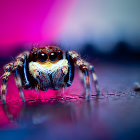 Sitticus Fasciger by Romy Yuliawan - Animals Insects & Spiders