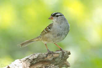 Photo: White-crowned Sparrow