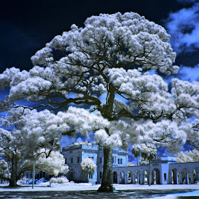 I R Works by Jeremy Barton - Landscapes Travel ( ringling museum, tree, florida, infrared, sarasota )