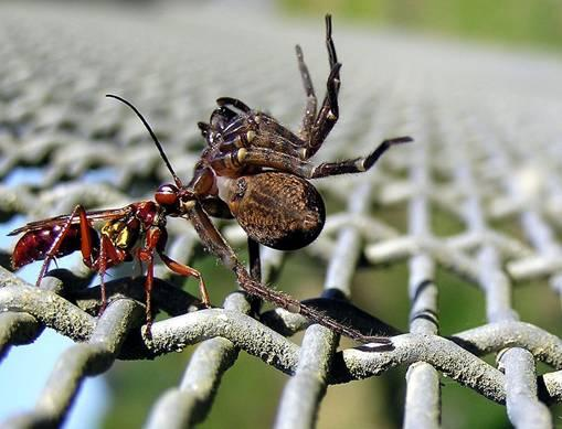 File:Wasp and spider 02.jpg