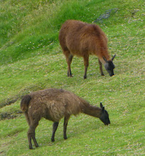 Photo: LLamas graze nearby