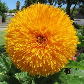 by Philip Kruger - Flowers Flower Gardens
