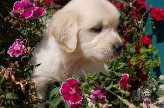 Photo: A Golden Meadows Retrievers puppy in the flowers.